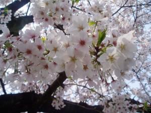 800px-桜_01